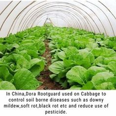 Dora Rootguard used on Cabbage to preventl soil borne diseases in china,such as downy mildew,soft rot,black rot and reduce use of pesticide.One application(soil drench) provides 2-3 months effect.If you would like to learn more info,please check the link in our bio,Need sample to test? DM or darren@doraagri.com#doraagri #rootguard #agro #plants #plantation #garden #gardener #urbangarden #farming #urbanfarmer #farmer #vegetablegarden #lovegardening #inmygarden #soil #organic