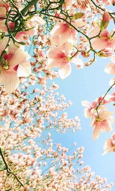 Beautiful Spring magnolia blue peach pink blossom flower delicate pastel pale photograph