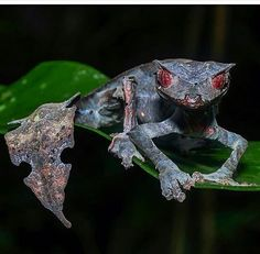 The satanic leaf tailed gecko – – Amphibien Cute Reptiles, Reptiles And Amphibians, Mammals, Rare Animals, Animals And Pets, Beautiful Creatures, Animals Beautiful, Satanic Leaf Tailed Gecko, Frog Illustration