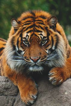 Solid Look & Solid Colors. Animals Of The World, Animals And Pets, Baby Animals, Cute Animals, Image Tigre, Beautiful Cats, Animals Beautiful, Wild Animals Attack, Tiger Photography