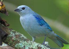 Exotic Birds, Colorful Birds, Pretty Birds, Beautiful Birds, Blue Jay, Bird Feathers, Vintage Images, Blue Bird, South America