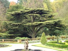 Downton Abbey trees-cedars of Lebanon.  Monastic Ponderings: Flourishing like a cedar of Lebanon