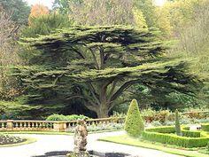 Downton Abbey trees-cedars of Lebanon.  Monastic Ponderings: Flourishing like a cedar of Lebanon