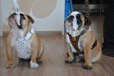 Name: Noa & Paco (female & male)*Breed: English Bulldog*Owner: Ruben & Nathalie*www.Staffs-Exclusives.com