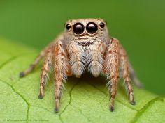 Jumping spider///and he probably jumped on this camera person as soon as that shot was done...ewww!!!!