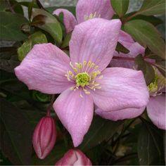 Clematis montana 'Fragrant Spring'  : très florifère au printemps. Fleurs très agréablement parfumées, pousse vigoureusement, je dois la tailler souvent pour ne pas qu'elle envahisse ses voisines. Tiges pourpres. Très jolie. Refleurit un peu jusqu'en octobre
