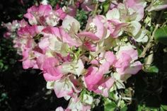 vines_pink_bougainvillea_pinkpearl