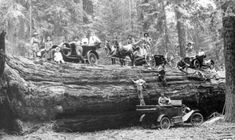 Model T's And Horse Drawn Carriage Sitting On Giant Redwood Tree 1920's