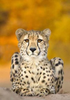 There is an African folk tale that says that the black stripes on a cheetah's face are tears; they cry because they are not like the other big cats.