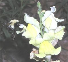 Bumblebees and snapdragons