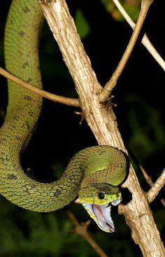 Great Lakes Viper (Atheris nitschei) Uganda