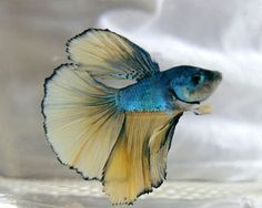 Fish photograph - Betta - Fresh Water Fish - Midnight Blue - Fish Art - Wall…