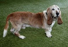 Let me introduce myself, I'm Frank, an 11 year old male basset hound.I may be a senior but I am full of life. I was in a motorcycle accident and had surgery so I limp a little but it sure doesn't deter me from running and playing. It's no problem at all. I love kids, dogs and even cats. I especially like my baths! I am housetrained and certainly know my mannersPlease consider me for your family. I'm really hoping that I can join a wonderful family this Xmas season! www.bhrsc.org/adopt