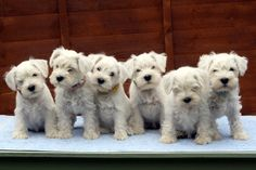 My latest litter of white miniature Schnauzer puppies.