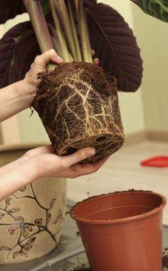 Zimmerpflanzen Umtopfen, Was Sie Beachten Sollten | Pflanzen ... Tipps Umtopfen Zimmerpflanzen