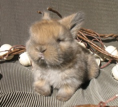 Looks just like my college pet, Simone! You just stare at them all day. I love Holland Lops.