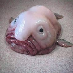 Scary Sea Creatures, Deep Sea Creatures, Frilled Shark, Ugly Animals, Blobfish, Deep Sea Fishing, Cute Little Things, Red Fish, Animal Pictures