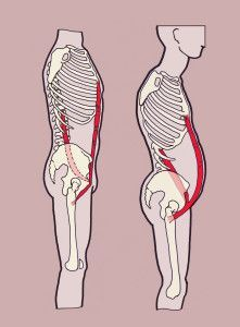 The psoas major and the rectus abdominis muscles have an important relationship inside the body even though they dont literally work together. Muscles relate to each other in many different ways. Sometimes they work in oppositionfor the hamstring to len Fitness Workouts, Psoas Iliaque, Rectus Abdominis Muscle, Psoas Release, Pelvic Tilt, Spine Health, Psoas Muscle, Muscle Body, Muscle Anatomy