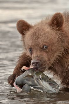 The First Catch (Первый улов) - Young brown bear (grizzly) - The photographer's site romanvn.ru doesn't load any more.
