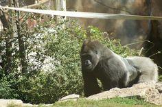 St. Louis Zoo  Gorilla