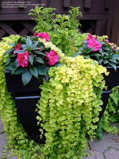 Container Flower Gardening Ideas: A = Creeping Jenny, B= Impatiens, C = Swallowt. - Container Flower Gardening Ideas: A = Creeping Jenny, B= Impatiens, C = Swallowtail Coleus - Container Flowers, Container Plants, Container Gardening, Flower Garden Design, Home Garden Design, Outdoor Flowers, Outdoor Plants, Outdoor Areas, Hanging Flower Baskets