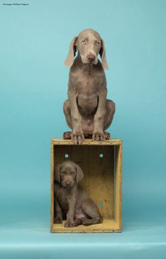 Oh, for the love of all things cute and holy. (© William Wegman August 2011 issue - William Wegman by Lorna Gentry)