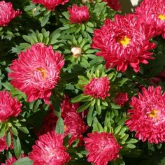 callistephus chinensis red ribbon or china aster seeds by plantgenesis Fall Flowers, Cut Flowers, Aster Flower, Planting Plan, Red Pictures, Unusual Flowers, Growing Flowers, Red Ribbon, Colour Schemes