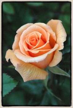 Thanks To Sue ~ Miniature Rose