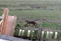 KITTENS DONT ROAR: Mystery big cat spotted on Cornwall border