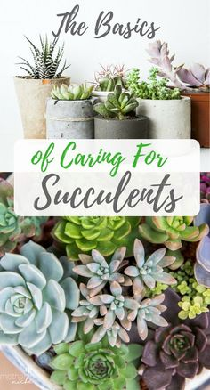 The Basics of Caring for Succulent Plants . So beautiful in the garden or home.