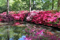 Vivid colour: The Isabella Plantation has been described as the jewel in Richmond Parks crown after £1.6million of investment