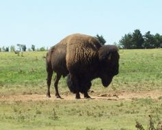 Possibly my favorite species- The America Bison