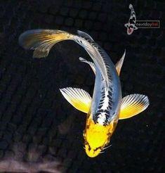 Nothing found for White Koi A Close Look Goldfish Wallpaper, Koy Fish, Butterfly Koi, Fish Pond Gardens, Oscar Fish, Koi Painting, Betta Fish Types, Goldfish Pond, Exotic Fish