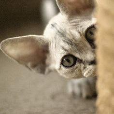 Little Devon Rex. They are so playful! This one looks a lot like my Mika.