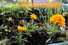 Petersilie & Tagetes - Blumenwichteln 2014