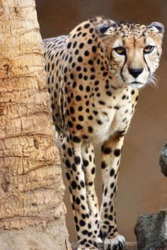 cheetah beautiful picture, what a perfect animal, impressive.                                                                                                                                                                                 More