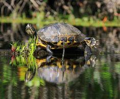 Wild Nature, Live Long, Turtle, Animals, Turtles, Animales, Animaux, Tortoise, Animal
