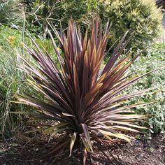 Cordyline australis 'Red Sensation'