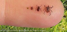 tick repellent: In a spray bottle, mix 2 cups of distilled white vinegar and 1 cup of water. To make a scented solution so you do not smell like bitter vinegar all day, add 20 drops of your favorite essential oil. Go Outdoors, The Great Outdoors, Natural Tick Repellent, Tick Repellant, Insect Repellent, Tick Repellent For Humans, Eucalyptus Oil, Citrus Oil, Distilled White Vinegar