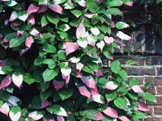 A Kiwi, Actinidia kolomikta offers tiny, slightly fragrant, greenish-white flowers in early summer. The most striking feature of this vine is its heart-shaped foliage. Those lovely leaves are green with white and pink variegation.