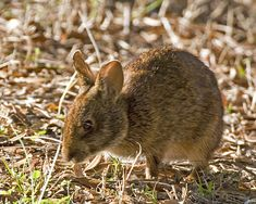 marsh rabbit (Sylvilagus palustris), Wakodahatchee Wetlands, Palm Beach County, Florida, January 20, 2007