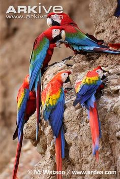 Scarlet macaws at a clay lick with red and green macaws