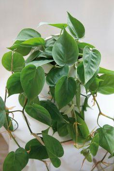schatten pflanzen fürs zuhause