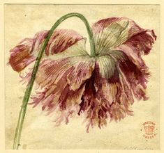 Jan Van Huysum (Dutch, 1682-1749), Flower study;  ragged pink-mauve flowerhead bent over, 1697-1749. Watercolour, Height: 121 millimetres, Width: 130 millimetres. SL,5283.158. Bequeathed by: Sir Hans Sloane. © Trustees of the British Museum