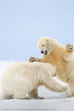 Two polar bear play fight in the snow on a barrier island in the Arctic National Wildlife refuge of Alaska.{AlaskaPhotoGraphics.com}
