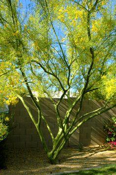 Desert Museum Palo Verde