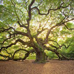"""Необыкновенное дерево """"Дуб Ангела""""  В США в штате Южная Каролина вот уже 1500…"""