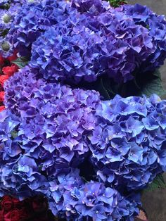 Hydrangea 'Rodeo'...Sold in bunches of 10 stems from the Flowermonger the wholesale floral home delivery service.