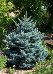 Montgomery Blue Spruce - dwarf slow growing