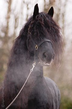 This is so beautiful. One day, I'm going to have a friesian. I'm going to keep it in a big barn by my house.